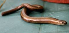 Slow worm protection